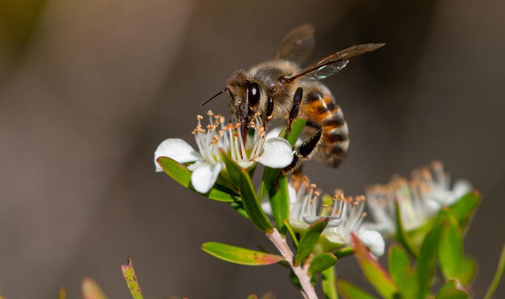 bee eating manuka nectar